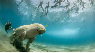 Commended: The World in Our Hands. A dugong in the bay of Marsa Alam, Egypt.