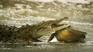 Commended: Behaviour: Cold-Blooded Animals. A crocodile and green turtle in Corcovado National Park in Costa Rica