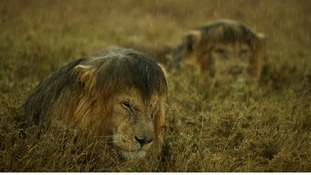 Commended: Animals in Their Environment. Lions in Tanzania's Serengeti National Park.