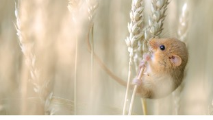 Commended: 15-17 years. A harvest mouse Cousset, in Switzerland.