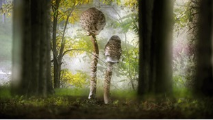 Commended: Creative Visions. Parasol mushrooms in the Grevena region of Greece.