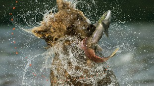 Specially commended: Behaviour: Mammals. Kamchatka brown bear in Lake Kuril in the Russian Far East.