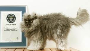 Colonel Meow shows off his Guinness certificate after becoming a world record holder.