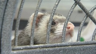 The ferret, named Vincent, by the aircraft engineers who found him