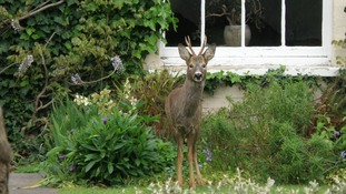deer in Highbridge garden