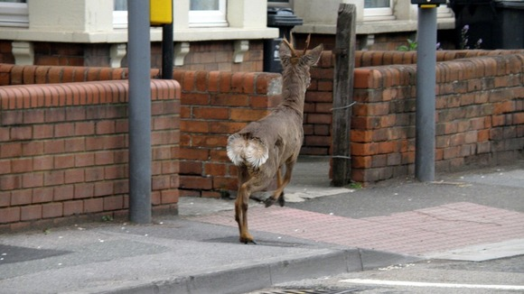 deer on pavement