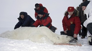 Putin tags a sedated polar bear on a visit to Alexandra Land on Franz Josef Land in the far north of Russia