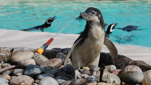 Magellanic penguin chick