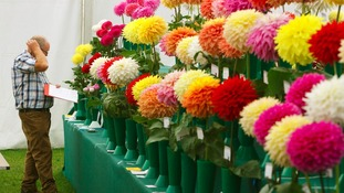 Judges closely inspect flowers at the annual flower show at RHS Wisley in Surrey