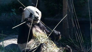 Is Tian Tian's partner Yang Guang the father of her possible cub - or cubs?