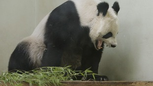 Zoo keepers are watching Tian Tian 24/7.