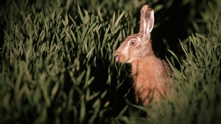 Police crack down on hare coursing in Suffolk.