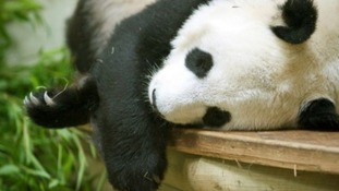 If pregnant Tian Tian would give birth to the first panda born in the UK.