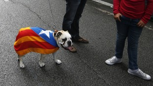 A dog is draped in the banner of Catalan independence