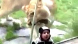 A lioness at a zoo in Portland, Oregon, attempts to eat a toddler