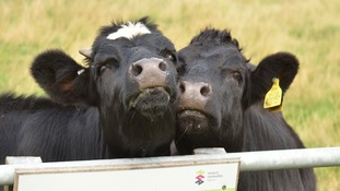 cows cheek to cheek in field