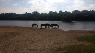 Horses drinking from lake in Sutton Park.