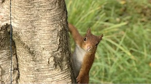 Red squirrels in Scotland
