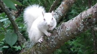 The rare albino squirrel resting in a  tree