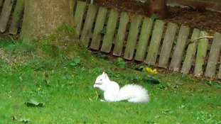 The albino squirrel has reportedly befirended a mouse and a magpie in Glen's garden