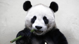 Male panda Yang Guang is also being kept from public display