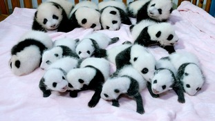 The 14 panda cubs settling in to their new surroundings
