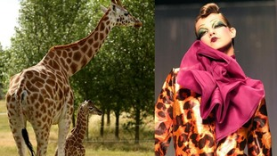 Giraffes and giraffe print outfit