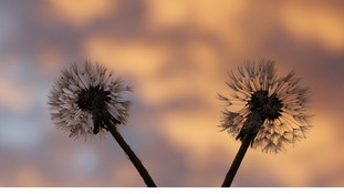 dandelion clocks at sunrise