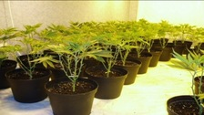 Cannabis plants seized by police
