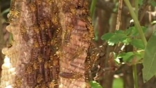 The Asian giant hornet has been blamed for the deaths.