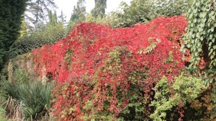 flaming leaves on climbing plant on wall at Arley Arboretum
