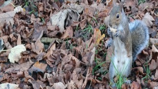 squirrel amongst leaves nibbling nut