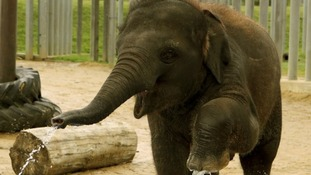 Elephants appear to grasp the point of pointing without any training, a study has found