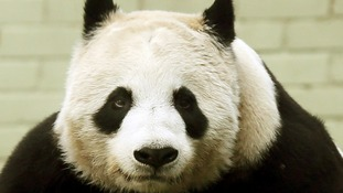 Giant panda Tian Tian is not expecting a cub.
