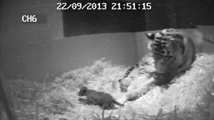CCCTV taken shortly after the cub's birth