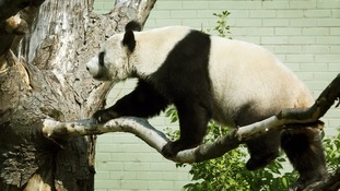 Tian Tian had been keeping keepers at Edinburgh Zoo guessing over her possible pregnancy.