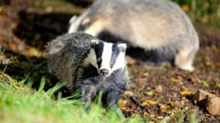 A badger looks at the camera.