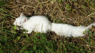 This albino squirrel has set up home at Draycote Water near Rugby