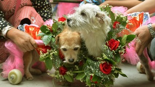 "Bride dog ""Lanlan"" and groom dog ""Guaiguai"" (R) wear garlands during their wedding"