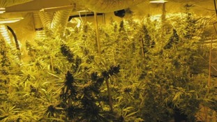 Maidstone, cannabis, factory