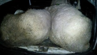 The animals were found tied up with shoelaces in the back of a van