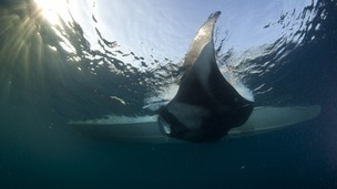 A manta ray caught for tagging and samples