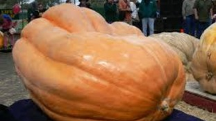 A giant pumpkin