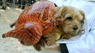Scarily cute - a pet pooch snuggles into its innovative turkey outfit at the parade.