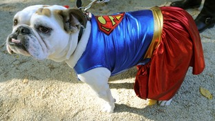 Up, up and away for this superhero bulldog.