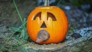 Dwarf mongoose inside pumpkin