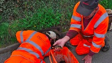 Ducklings trapped in Staffordshire drain