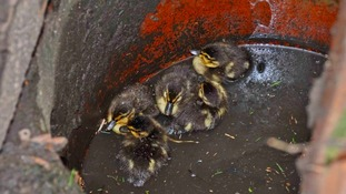 "Ducklings rescued by ""Highway Heroes"""