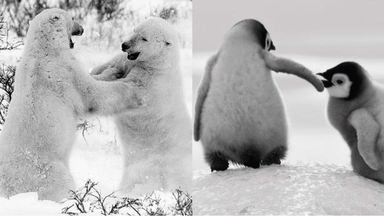 Polar bears and penguins having fun frolicking in the snow.