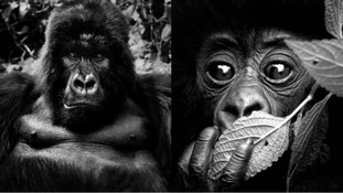 These gorillas look deep in thought as they're snapped by the self-taught wildlife photographer.